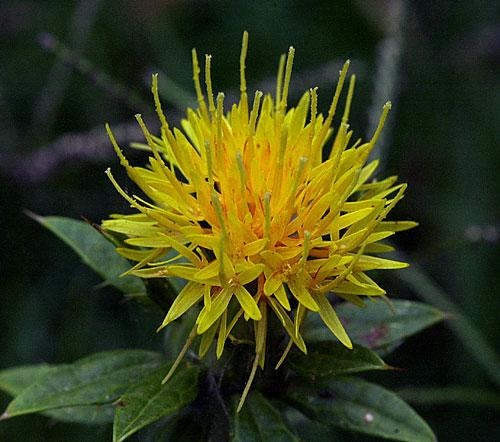 Azafrán – planta medicinal (con sus propiedades)