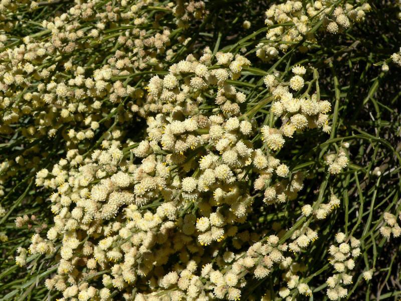 Chirka Melosa – planta medicinal (con sus propiedades)