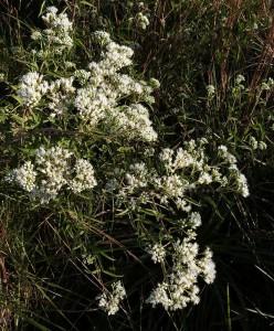 Doctorcito-Austroeupatorium_inulifolium