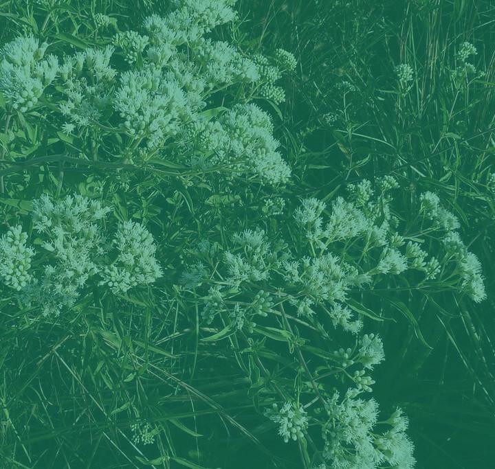 Doctorcito-Austroeupatorium_inulifolium-nuevo