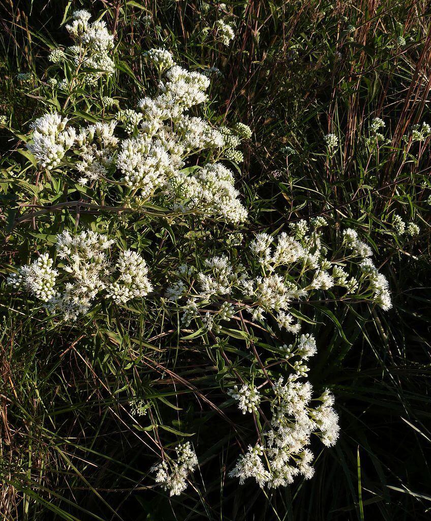 Doctorcito – planta medicinal (con sus propiedades)
