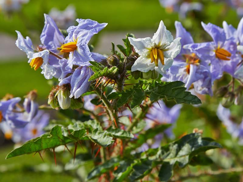 Espina-Colorada-Solanum-sisymbriifolium