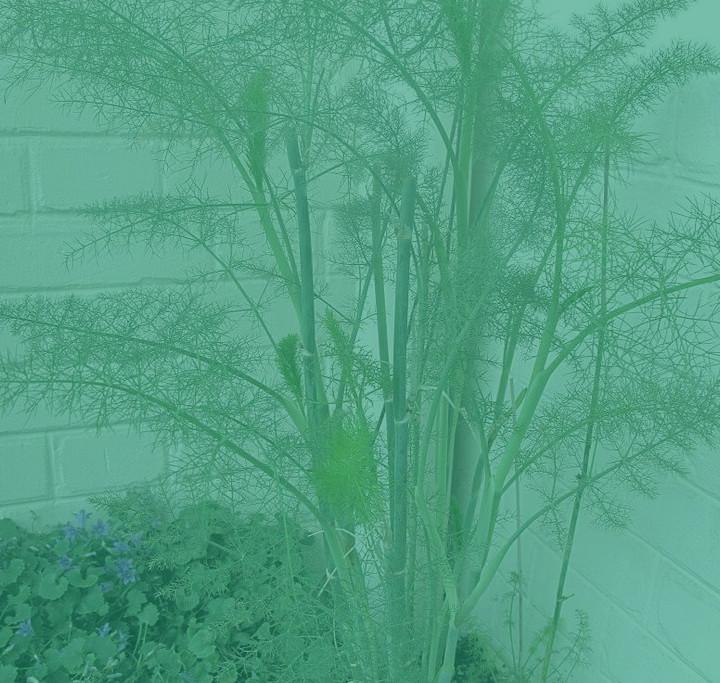 Hinojo – planta medicinal (con sus propiedades)