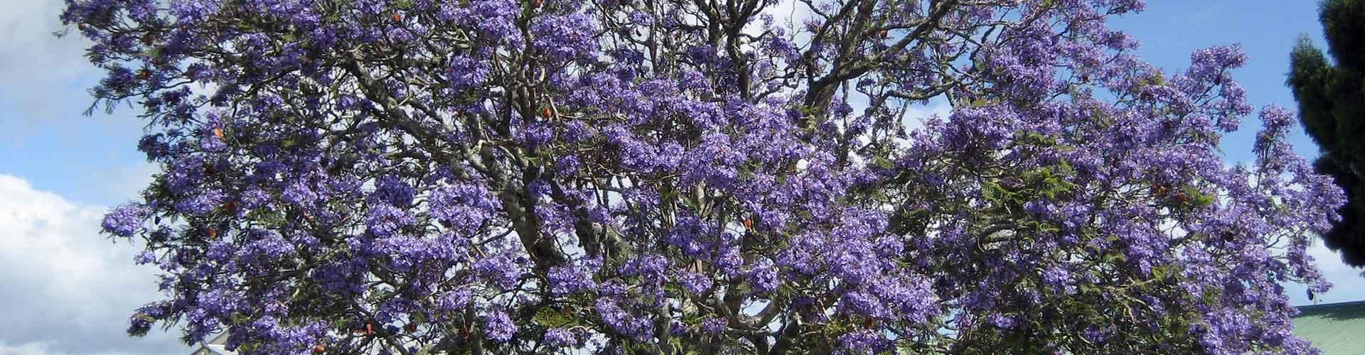 Jacaranda-mimosifolia-arbol