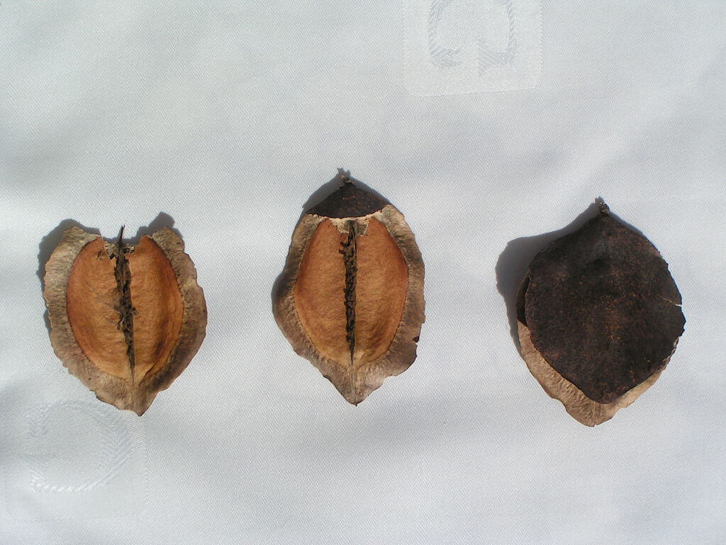 Jacaranda-mimosifolia-frutas