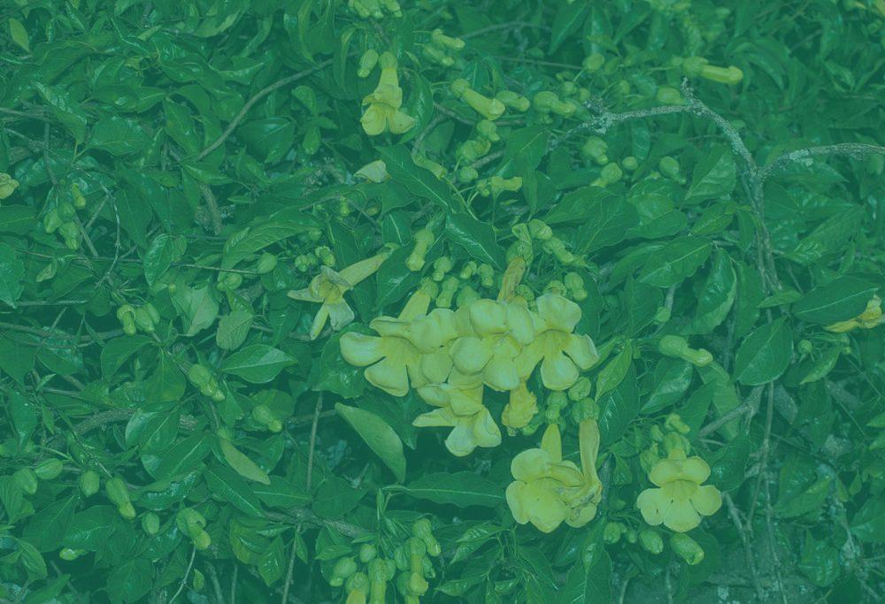 Uña de gato – planta medicinal (con sus propiedades)